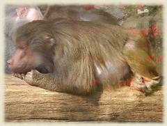 baboon detail