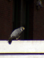 "Peregrine Falcon (probably MCC Male ""Max"") 5"