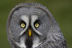 Great Grey Owl by Brian Scott