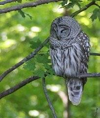 Sleepy barred owl by Signe Brewster