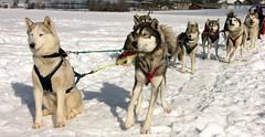 dog sled / huskies