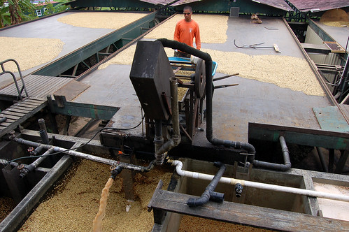 ... then removes the pulp by machine and dried under the sun.
