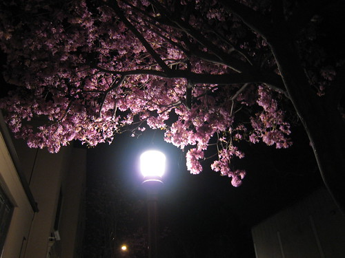 Pink flowered tree on a side street in Old Town