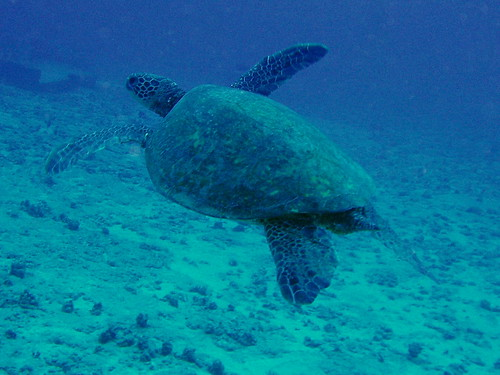 honu = Hawaiian green sea turtle