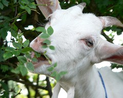 Goat eats its way through hedge by florriebassingbourn