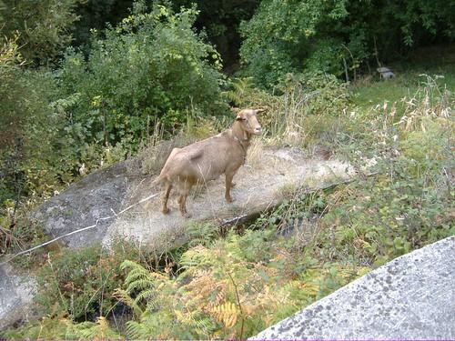 Cabra da Serra