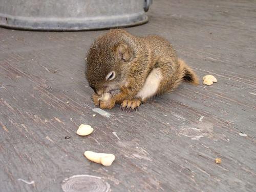 baby squirrel closeup2 -  workbench 5-26-05