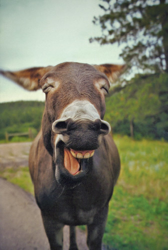 Laughing Donkey