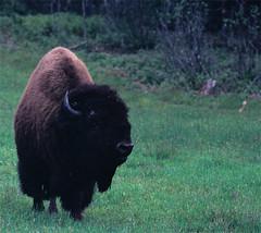 un bison pas futé