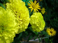 Giverny Yellow ones