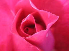 wistful rose