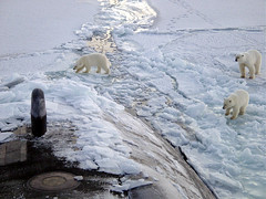 Osos polares hundiendo un submarino