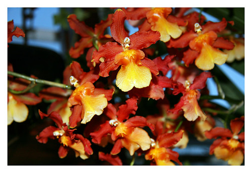 Oncidium Branch
