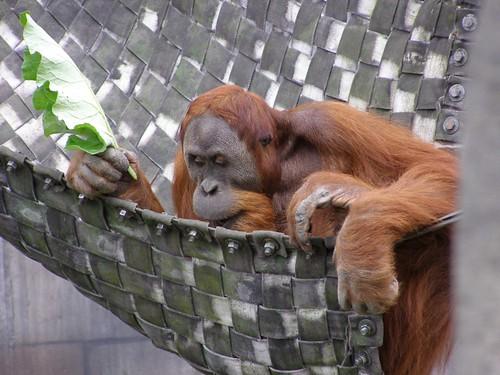 Orangutan!  (or, the librarian)