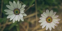 African Daisy 3