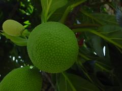 Fruta Pão (=Breadfruit)