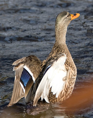 """IMG_8062: Duck • <a style=""""font-size:0.8em;"""" href=""""http://www.flickr.com/photos/54494252@N00/73671891/"""" target=""""_blank"""">View on Flickr</a>"""