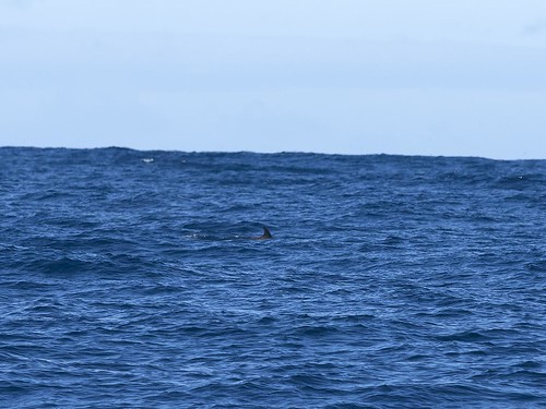 """Shepherd's Beaked Whale - Offshore Eaglehawk Neck - Tasmania • <a style=""""font-size:0.8em;"""" href=""""http://www.flickr.com/photos/95790921@N07/31814035914/"""" target=""""_blank"""">View on Flickr</a>"""