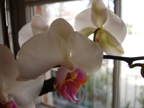 Valentine's Orchid
