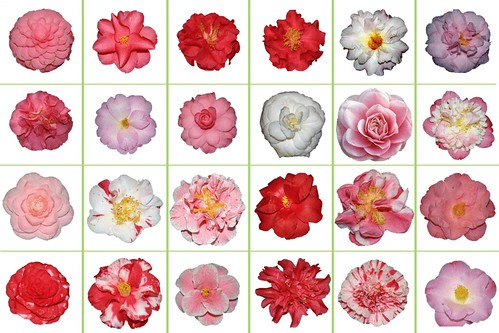 Camelias on a Grid
