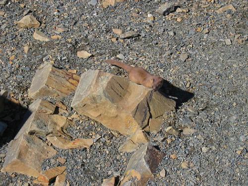 20060131_1024_雪山頂的黃鼠狼
