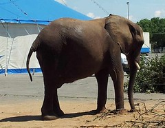 "der Elefant • <a style=""font-size:0.8em;"" href=""http://www.flickr.com/photos/42554185@N00/19020952566/"" target=""_blank"">View on Flickr</a>"