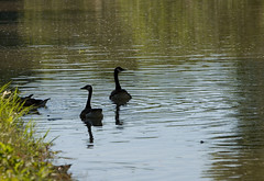 """CRW_3182: Water Fowl on the C&O Canal • <a style=""""font-size:0.8em;"""" href=""""http://www.flickr.com/photos/54494252@N00/8723913/"""" target=""""_blank"""">View on Flickr</a>"""