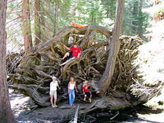 The scale of root system on a Giant Sequoia tree