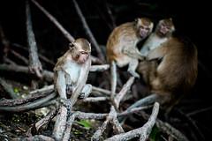 monkeys-1000