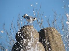 greedy seagull