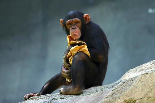 Chimpanzee by lightmatter - Flickr