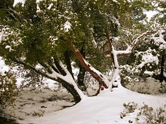 Ikaria 093 (isl_gr (away on an odyssey)) Tags: mountain snow island calendar hiking beautyconcealed ikaria  january aegean greece strawberrytree  caria   arbutusandrachne