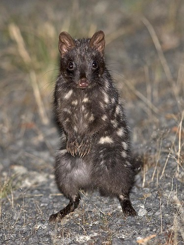 "Eastern Quoll (dark morph) - Bruny Island, Tasmania • <a style=""font-size:0.8em;"" href=""http://www.flickr.com/photos/95790921@N07/31754911534/"" target=""_blank"">View on Flickr</a>"