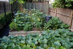 IMGP0854 - vege garden