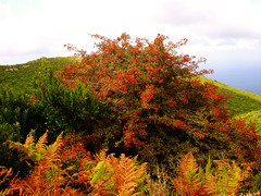 Ikaria 068 (isl_gr (away on an odyssey)) Tags: red mountain tree island ikaria aegean replacement greece blogged ferns hawthorn medicinalplant crataegusmonogyna crataegus hikingikaria atheras perdiki