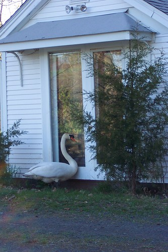 swan at the door