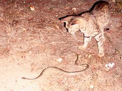 Ikaria 194 (isl_gr (Mnesterophonia)) Tags: cat felicia snake ikaria icaria  aegean replacement serpent viper