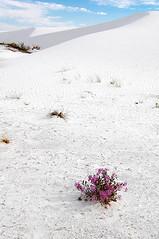 Desert Flower - sand verbena