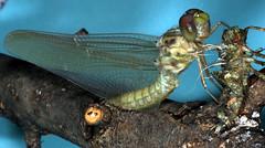 Dragonfly, Metamorphosis 4