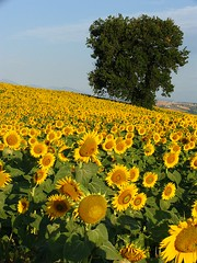 Collina d'Oro  , Sunflowerfield and Oak
