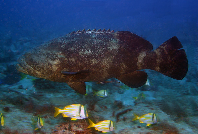 Goliath Grouper, 2nd Gulley,  Palm Beach, Fl