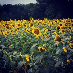 Sunflower fields forever. Outside McRae, GA on New Red Hill Church Rd. #TheWorldWalk #flower #travel #Georgia #twwphotos