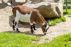 Ziege - goat