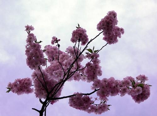 Darmstadt Spring Blossom