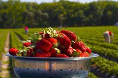 pickin berries