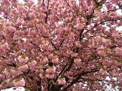 [Photo de Cerisier en fleurs]