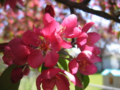 Crabapple Blossoms closeup