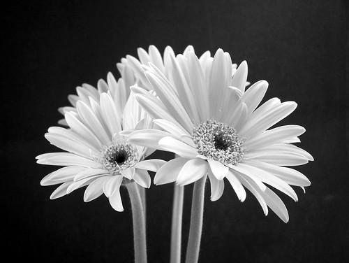 Black & White Gerberas
