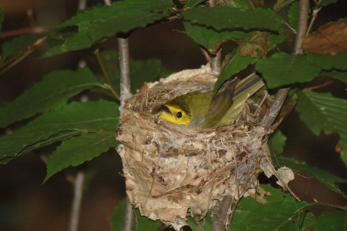 Hooded Warbler nest