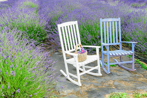 "Adirondack chairs on lavender fields • <a style=""font-size:0.8em;"" href=""http://www.flickr.com/photos/132142211@N05/19114984364/"" target=""_blank"">View on Flickr</a>"